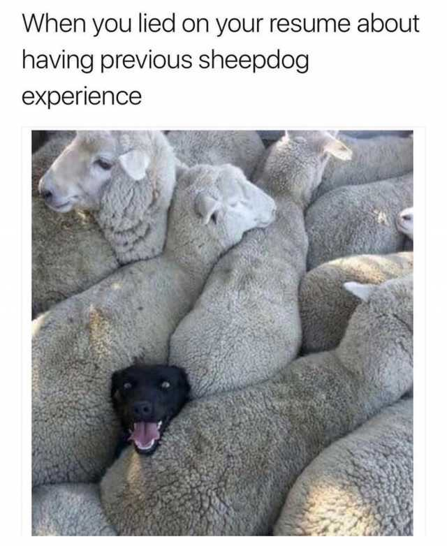 dopl3r memes when you lied on your resume about having previous sheepdog experience hqk5r Resume When You Lied On Your Resume Sheepdog