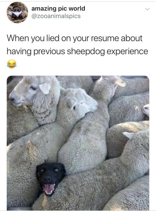 honesty on your resume healthcare it today when you lied sheepdog lieing awards coupe du Resume When You Lied On Your Resume Sheepdog
