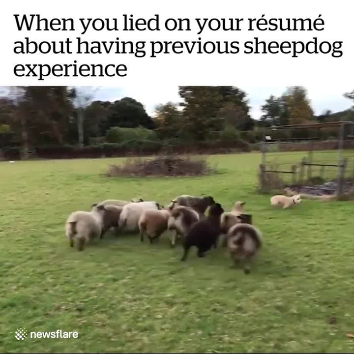 into the wild festival news when you lied on your résumé about having previous sheepdog Resume When You Lied On Your Resume Sheepdog