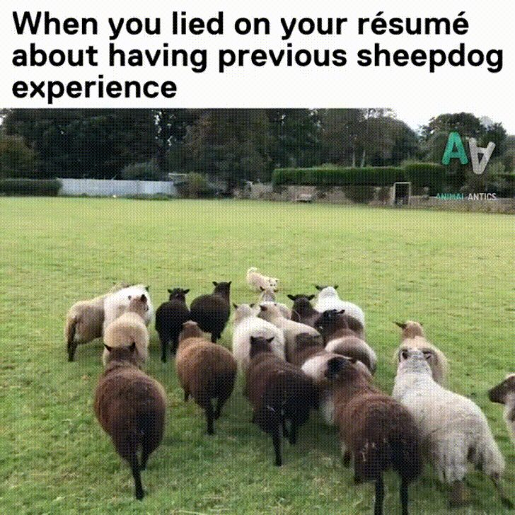 lied on your resume about sheepdog experience imgur when you djhogieh awards objective Resume When You Lied On Your Resume Sheepdog