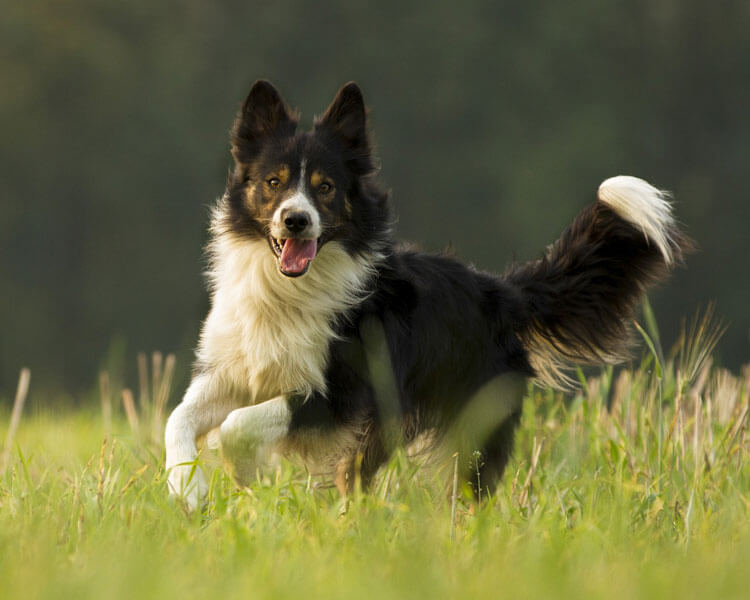 sheepdog training pets when you lied on your resume border collie free builder sites Resume When You Lied On Your Resume Sheepdog