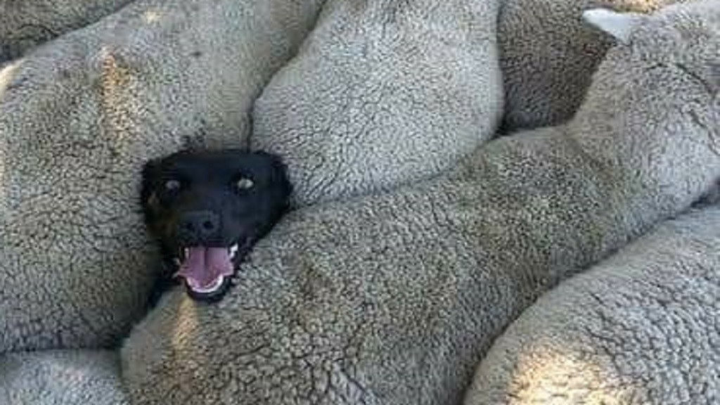 the behind viral of izzy sheepdog news farmers guardian when you lied on your resume main Resume When You Lied On Your Resume Sheepdog