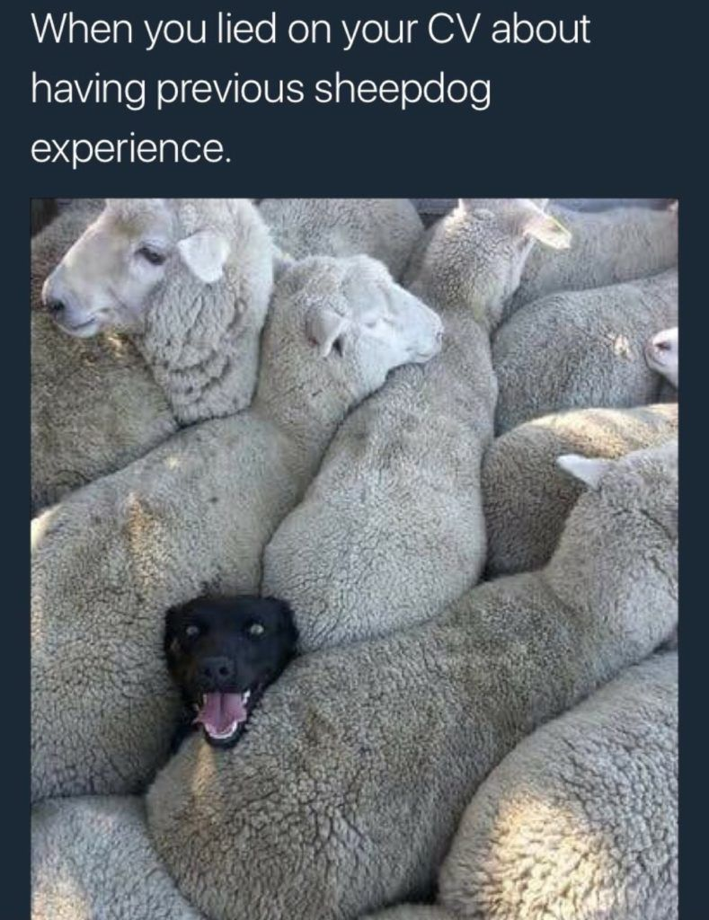 when you lied on your cv about having previous sheepdog experience funny dog memes Resume When You Lied On Your Resume Sheepdog