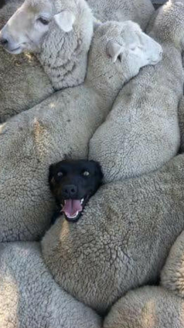 when you lied on your resume about having previous sheep dog experience http ift tt Resume When You Lied On Your Resume Sheepdog